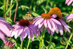 Butterfly on a purple Echinacea cone flower