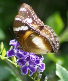 Butterfly on purple flower royalty free stock images