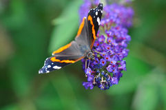 Butterfly on purple flower Royalty Free Stock Image