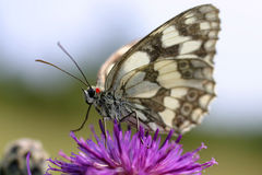 Butterfly on purple flower 2 Royalty Free Stock Images