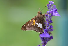 Butterfly on a Purple Flower. Butterfly gathering nectar from a purple flower Royalty Free Stock Photography