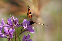 Butterfly on purple flower. Closeup of butterfly on purple flower Royalty Free Stock Photography