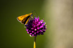 Butterfly on purple flower Stock Photos
