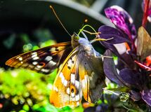 Butterfly on purple flower Stock Image