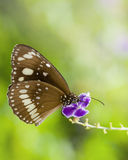Butterfly on purple flower. Brown butterfly on purple flower drinking nectar with background and space for copy Stock Photos