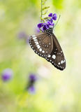 Butterfly on purple flower with copy space. Butterfly, Common Crow, Euploea core, on duranta Stock Photos