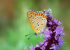 Lesser Fiery Copper butterfly on purple flower, Lycaena thersamon