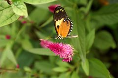 Butterfly on a purple flower. Orange and black butterfly on a purple flower in a butterfly garden in Mindo, Ecuador royalty free stock image