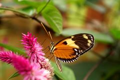 Butterfly on a purple flower. Orange and black butterfly on a purple flower in a butterfly garden in Mindo, Ecuador royalty free stock images