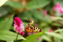 Butterfly on a purple flower. Orange and black butterfly on a purple flower in a butterfly garden in Mindo, Ecuador stock image