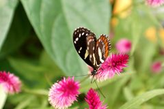 Butterfly on a purple flower. Orange and black butterfly on a purple flower in a butterfly garden in Mindo, Ecuador stock photography