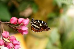 Butterfly on a purple flower. Orange and black butterfly on a purple flower in a butterfly garden in Mindo, Ecuador stock photos