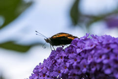 Butterfly on purple flower Stock Images