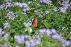 Butterfly on purple flowers Royalty Free Stock Photos