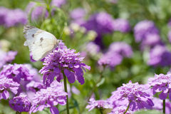 Butterfly and purple flowers Royalty Free Stock Images