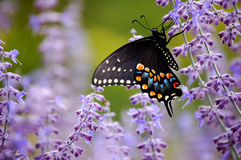 Butterfly with Purple Flowers. Dark Swallowtail butterfly in garden with purple flowers Stock Photo