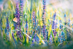 Butterfly on purple flowers Royalty Free Stock Image