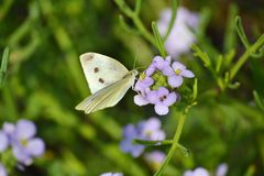 Butterfly on a Purple Flowers. Butterfly feeding on a Purple Flowers Stock Photos