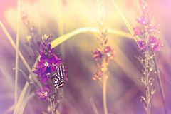 Butterfly on purple flowers Stock Photography