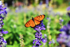 Butterfly on purple flowers in in the park.  Stock Images