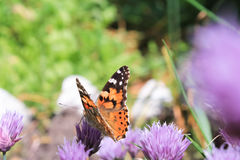 Butterfly. On purple flowers summer Stock Image