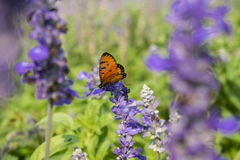 Butterfly on purple flowers in the sunlight blurred background.  Royalty Free Stock Images