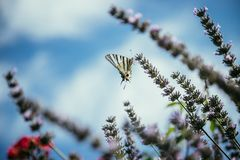 Butterfly on purple lavender blooms, France, post card. Smell fragrance nature flower blossom summer provence mother rebirth postcard relaxation herb royalty free stock images