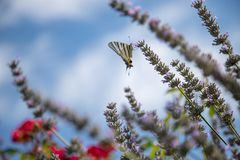 Butterfly on purple lavender blooms, France, post card. Smell fragrance nature flower blossom summer provence mother rebirth postcard relaxation herb stock photos
