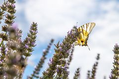 Butterfly on purple lavender blooms, France, post card. Smell fragrance nature flower blossom summer provence mother rebirth postcard relaxation herb stock photo
