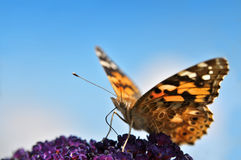 Butterfly on purple lilac Royalty Free Stock Images