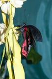 Butterfly Purple Rose or Pachliopta kotzebuea Royalty Free Stock Image