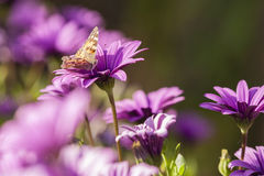 Butterfly and purple sunflowers Royalty Free Stock Image