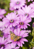 Butterfly and purple sunflowers Royalty Free Stock Images