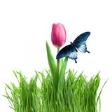 Butterfly on purple tulip in green grass Stock Images