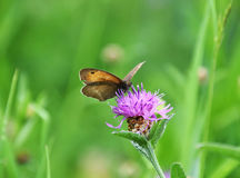 Butterfly on purple wildflower, Centaurea jacea, brown knapweed. A close-up about butterfly on meadow, on a purple wildflower, Centaurea jacea, brown knapweed or Royalty Free Stock Photo