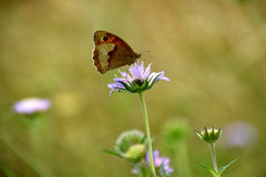 Butterfly on purple wildflower Royalty Free Stock Images