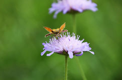 Butterfly on purple wildflower. A close-up about butterfly on meadow, on a purple wildflower royalty free stock images