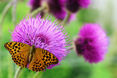 Butterfly  on purple wildflower Stock Photography