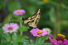 Butterfly on purple Zinnia. Stock Images