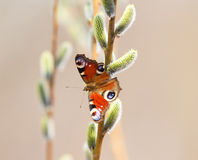 Butterfly on pussy-willow Royalty Free Stock Photos
