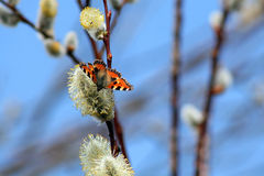 A butterfly on the pussy willow Stock Image