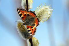 A butterfly on the pussy willow Stock Photo