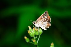 Butterfly (Pyrgus maculatus) Stock Images
