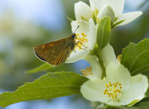 Butterfly Pyrgus malvae Royalty Free Stock Images