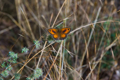 Butterfly Pyronia tithonus Gatekeeper Stock Photography