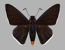 Butterfly Pyrrhopyge papius royalty free stock images