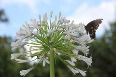 Butterfly on Queen Mum Agapanthus stock photos