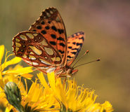 Butterfly Queen of Spain Stock Image
