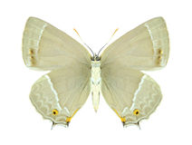 Butterfly Quercusia quercus (female) (underside) Stock Images