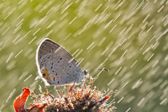 Butterfly in rain Royalty Free Stock Image